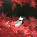 写真: 私の野鳥図鑑・091201-1シジュウカラ