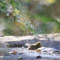 171117-8メジロの水浴び