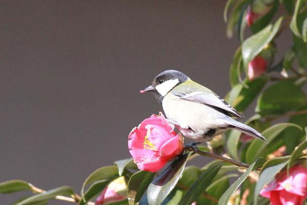 私の野鳥図鑑・110210椿の花びらを食べるシジュウカラ
