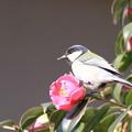 写真: 私の野鳥図鑑・110210椿の花びらを食べるシジュウカラ