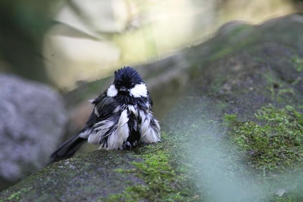 私の野鳥図鑑・111016水浴びを終えたシジュウカラ