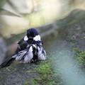 写真: 私の野鳥図鑑・111016水浴びを終えたシジュウカラ
