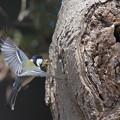 写真: 私の野鳥図鑑・120328-IMG_6776巣に苔を運ぶシジュウカラ