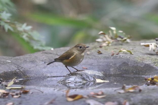 171120-1ルリビタキ若鳥