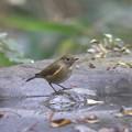 写真: 171120-1ルリビタキ若鳥