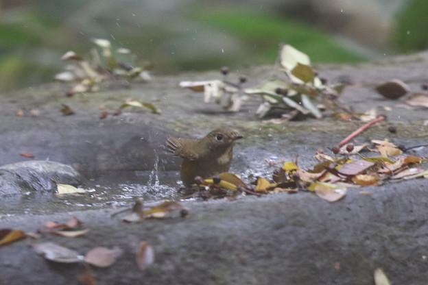 写真: 171120-3ルリビタキ若鳥の水浴び
