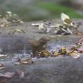 171120-3ルリビタキ若鳥の水浴び