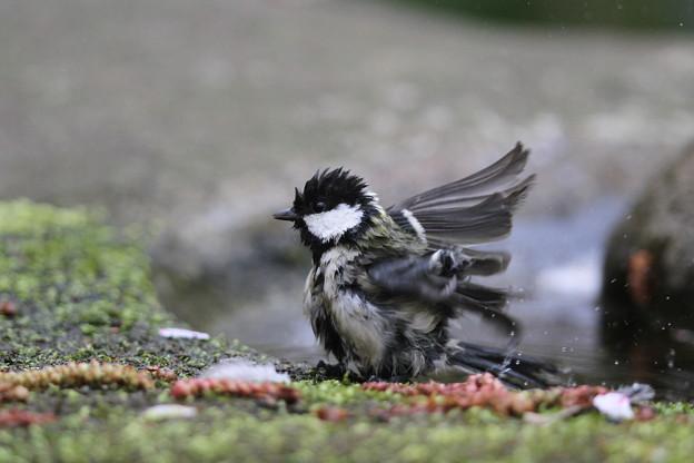 私の野鳥図鑑・140410シジュウカラの水浴び