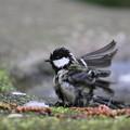 写真: 私の野鳥図鑑・140410シジュウカラの水浴び