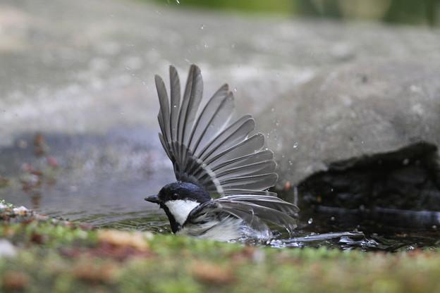 私の野鳥図鑑・140417シジュウカラの水浴び