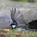 写真: 私の野鳥図鑑・140417シジュウカラの水浴び