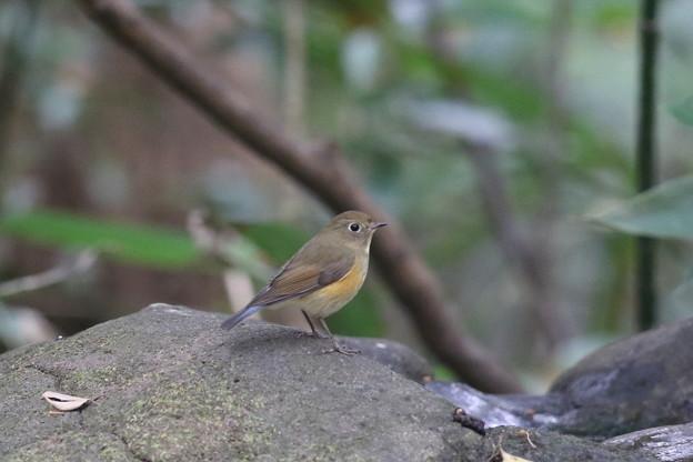 171120-7ルリビタキ若鳥