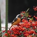 写真: 私の野鳥図鑑・090213ジョウビタキ
