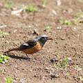 写真: 私の野鳥図鑑・110329ジョウビタキ♂