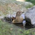写真: 私の野鳥図鑑・111027ジョウビタキ♀の水浴び