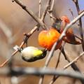 写真: 171206-2柿を食べるメジロ