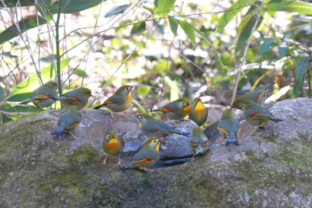 私の野鳥図鑑(蔵出し)・110106-IMG_6852ソウシチョウの群れ