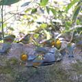 写真: 私の野鳥図鑑(蔵出し)・110106-IMG_6852ソウシチョウの群れ