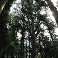 写真: 100513-29高千穂神社の杉(上部)