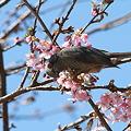 Photos: 110305-11大寒桜とヒヨドリ