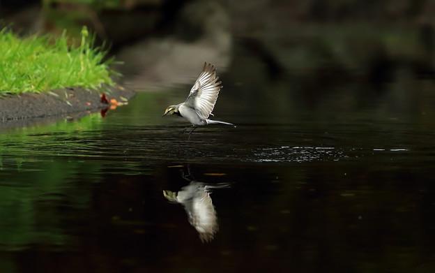 Photos: ハクセキレイ