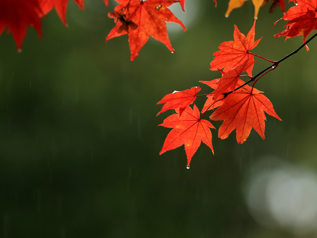 写真: 赤い葉
