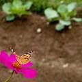 写真: 郷の秋)花舞台のヒメアカタテハ・3