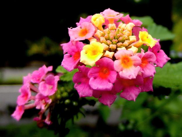 郷の秋)ランタナの花。