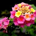 Photos: 郷の秋)ランタナの花。