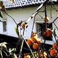 郷の秋)柿と土蔵。