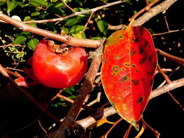 写真: 郷の秋)熟柿。