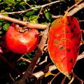 郷の秋)熟柿。