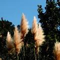 写真: 郷の秋)パンパスグラスの穂
