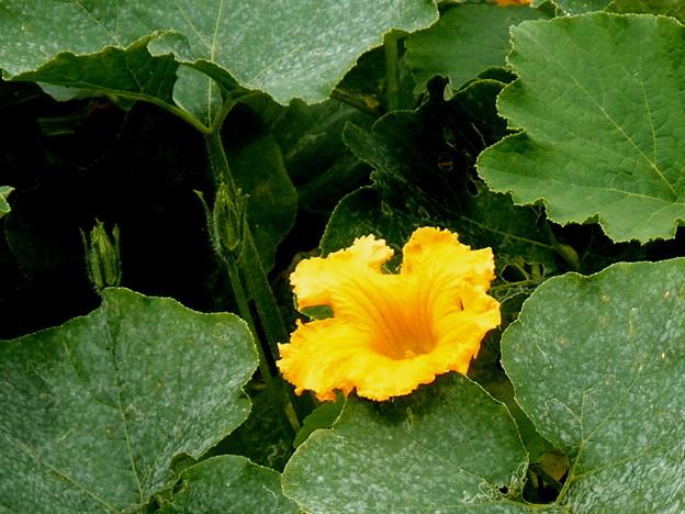 写真: 郷の秋)カボチャの花はカボチャ色。