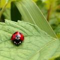写真: 紅一点)ナナホシテントウムシ。
