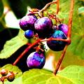 写真: 野葡萄)里山の宝石。