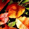 桜葉も落ち葉に、為りにけり。