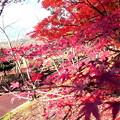 写真: 散歩道の紅葉・1