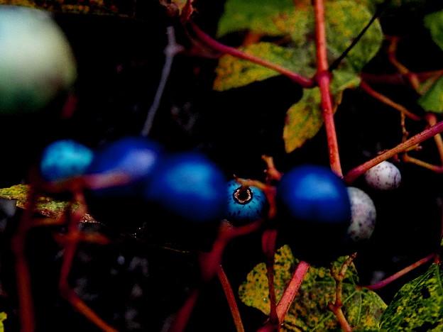 野葡萄)里山の宝石・3