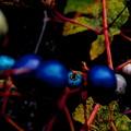 写真: 野葡萄)里山の宝石・3