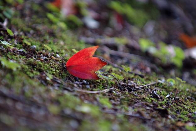 トウカエデの落ち葉