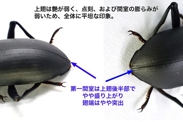 ユミアシゴミムシダマシ(上翅後半)_17825d
