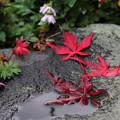 写真: 濡れ落ち葉 (1)