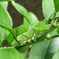 モンキアゲハの幼虫(ナミアゲハの幼虫でした)