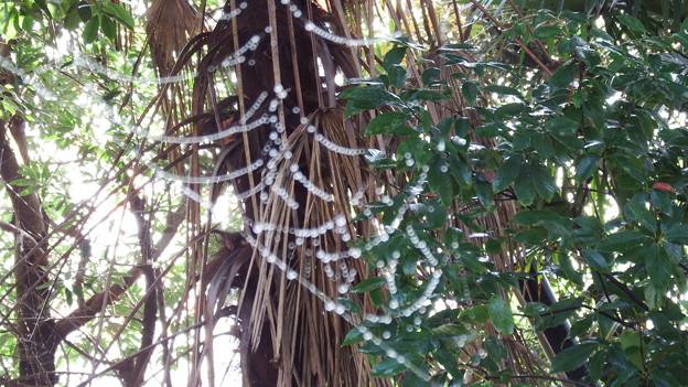 真珠の首飾り 1