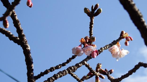 元日桜 3