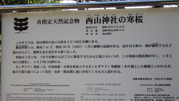元日桜の説明