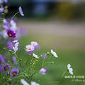 2017 秋桜4