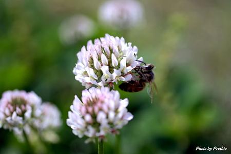 ミツバチとシロツメ草