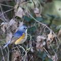青い鳥2018